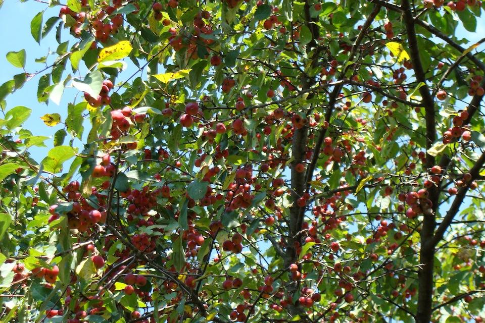 Gel e de pommes les quatre saisons - Gelee de pommes avec extracteur ...