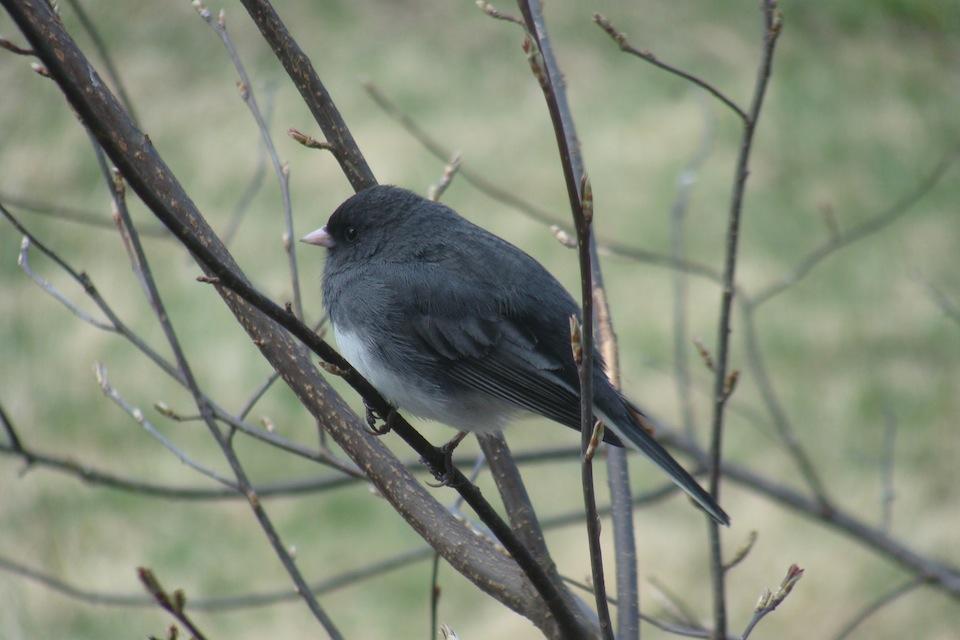Le junco ardois les quatre saisons for Oiseau gris et blanc