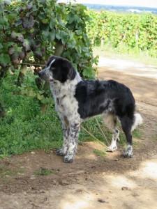 Le chien du vigneron