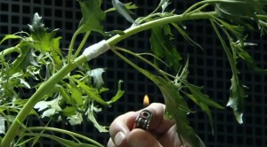 bruler une plante