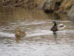couple de canards colvert deux