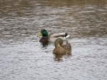 couple de canards colvert quatre