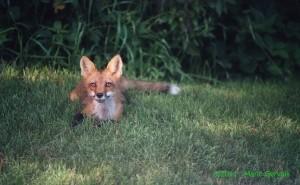 renard roux de mario