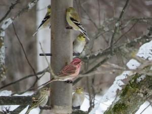 Quatre chardonnerets, un roselin pourpre et un Tarin des pins