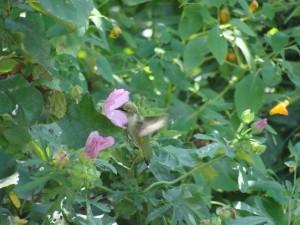 colibri dans les mauves