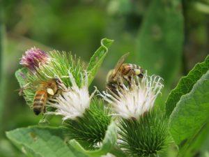 abeilles-bardane un