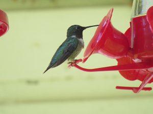Colibri a gorge rubis male un