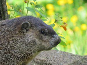 Visage de marmotte