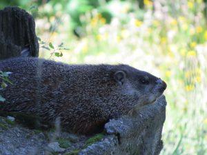 marmotte-femelle