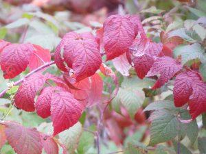 feuilles-de-framboisier-rouge