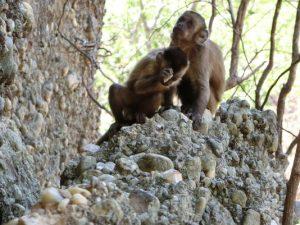 jeune-singe-bresilien