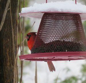 cardinal-rouge