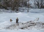 Trois Bruants des neiges