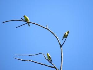 trois chardonnerets jaunes au sommet du grand orme mort