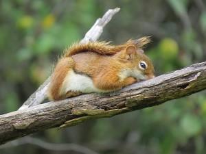 la sieste de lecureuil