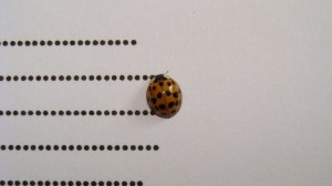 coccinelle a loeuvre
