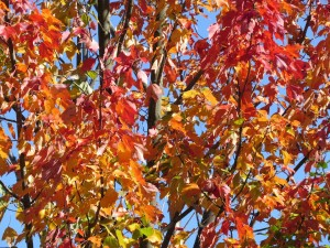 feuilles rouges automne