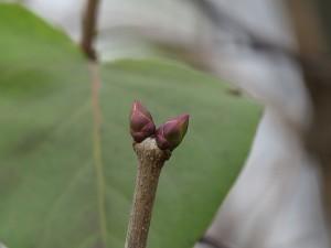bourgeons de lilas un