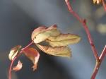 feuilles de leglantier deux