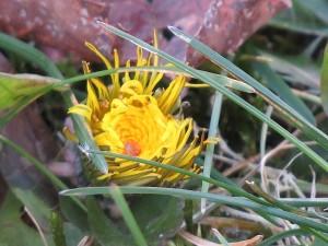 fleur jaune un