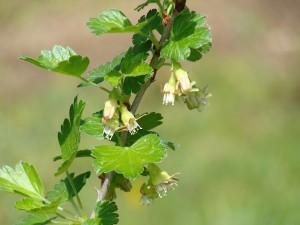 fleurs de groseillier