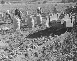 recolte de patates mont joli 1949