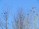 plus de 20 oiseaux noirs