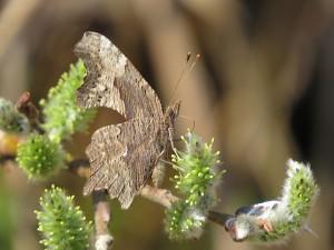 Polygone virgule premier papillon de la saison