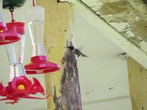 colibri a gorge rubis male