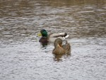 couple de canards colvert quatre