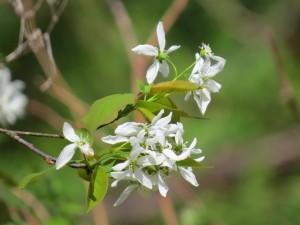 fleurs damelanchier un