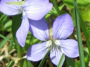 violette culcullee un