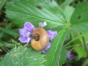 limace butinant dans la prunelle vulgaire