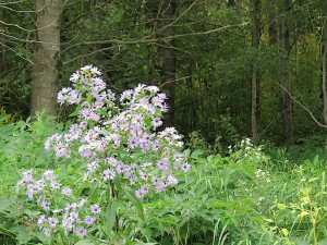 Asters mauves en bordure de ma foret