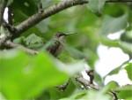 Colibri trois