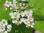 fleurs de sarrasin un