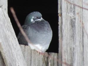 pigeon biset un