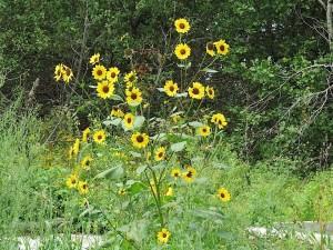 plant de tournesol a nombreuses fleurs