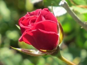 Rose magnifique