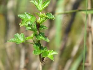 dernieres feuilles du groseillier a maquereau