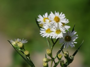 petites asters blanches poesie amour