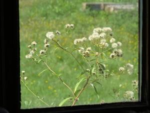 premiere aster fleurie de la saison a la fenetre un