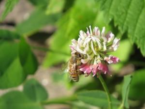 abeille butinant dans fleur de trefle