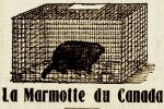 marmotte en cage