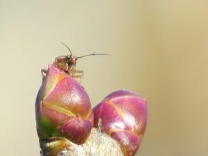 Petit insecte sur bourgeons de lilas rose