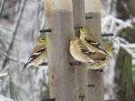 Quatre chardonneets jaunes