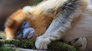 sommeil dun singe