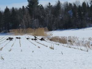 Quatorze dindons sauvages