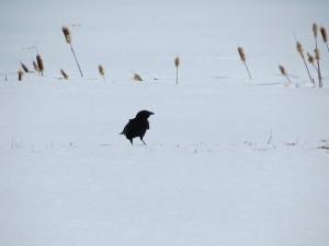 Corneille dans la neige