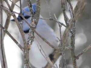 Geai bleu cache